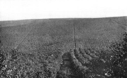 FAZENDA GUATAPARA, SÃO PAULO, BRAZIL, WITH 800,000 TREES IN BEARING