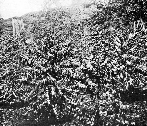 Three-Year-Old Coffee Trees in Blossom, Panama