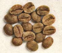 SANTOS (Flat Bean)