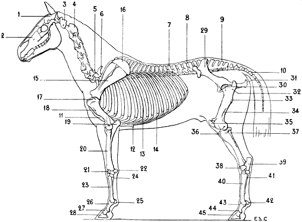 horse skeleton diagram labeled hss strat wiring 1 volume tone the project gutenberg ebook of artistic anatomy animals by fig 40