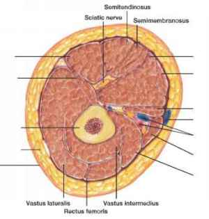 Exercise For Sartorius Html  Blood Vessels  GUWS Medical