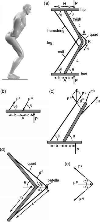 upper leg muscles diagram 1999 gmc sierra 1500 radio wiring biarticular - body dynamics guws medical