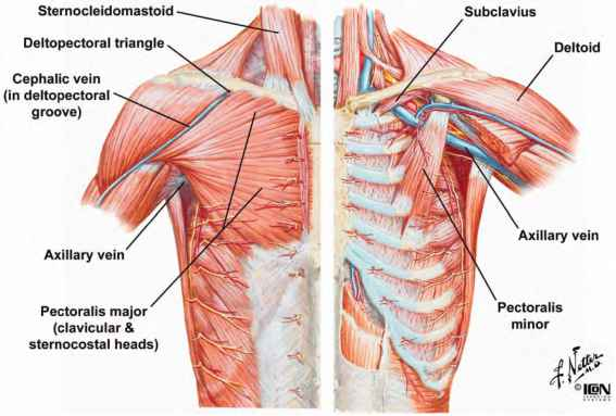 rib numbers diagram human airway muscles of the thoracic wall - heart failure guws medical