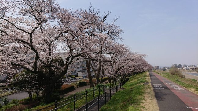 Sakura on the Aso river