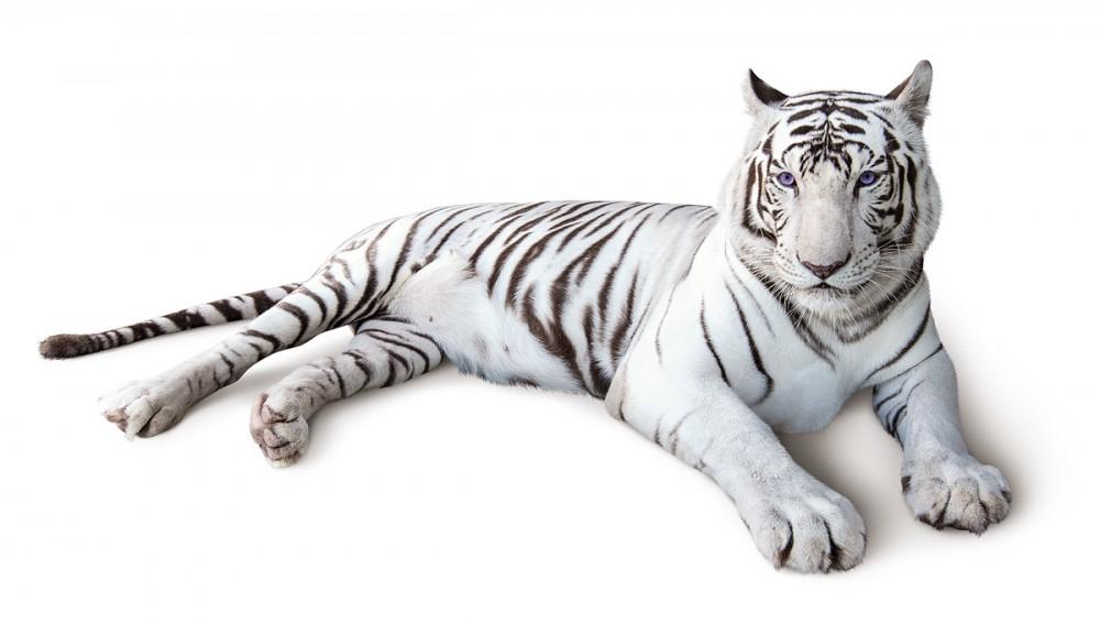 サンドキャッスルのホワイトタイガーを観て運気を上げよう!