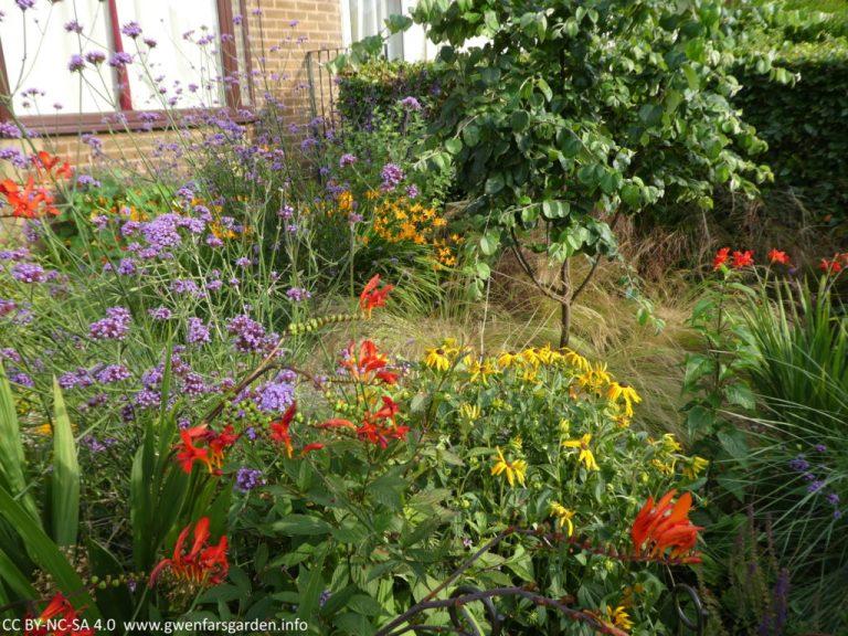 Ein Teilüberblick über den Vorgarten, in dem verschiedene mit blühendem Crocosmia bepflanzte Gebiete sowie andere gelb und lila blühende Pflanzen gezeigt werden. In der Mitte rechts steht der Quittenbaum, der mit grün-gelben feinen Gräsern unterpflanzt ist.