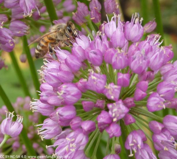 Eine Nahaufnahme eines abgerundeten Blütenkopfes mit einer Honigbiene, die Pollen in der Mitte der Blumen sucht.