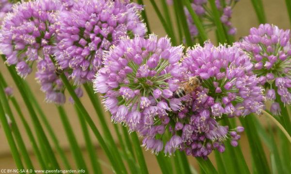Eine Sammlung der gleichen Blumen mit einer Honigbiene, die über ihnen herumtollt.