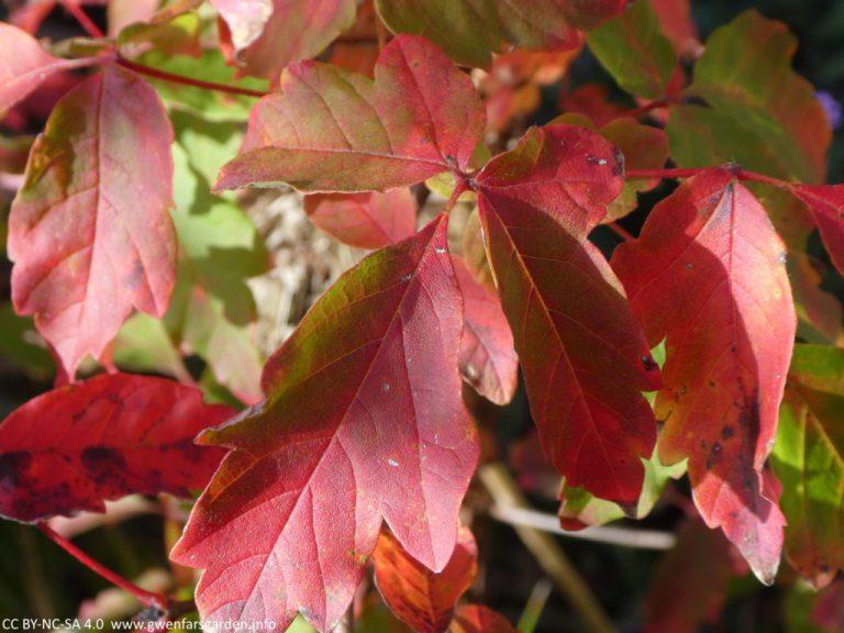 Nahaufnahme eines der Blätter, das fast scharlachrot ist, mit nur ein paar Grüntönen. Sie können die Textur der Blätter und die größeren und feineren Linien innerhalb des einzelnen Blattes sehen.