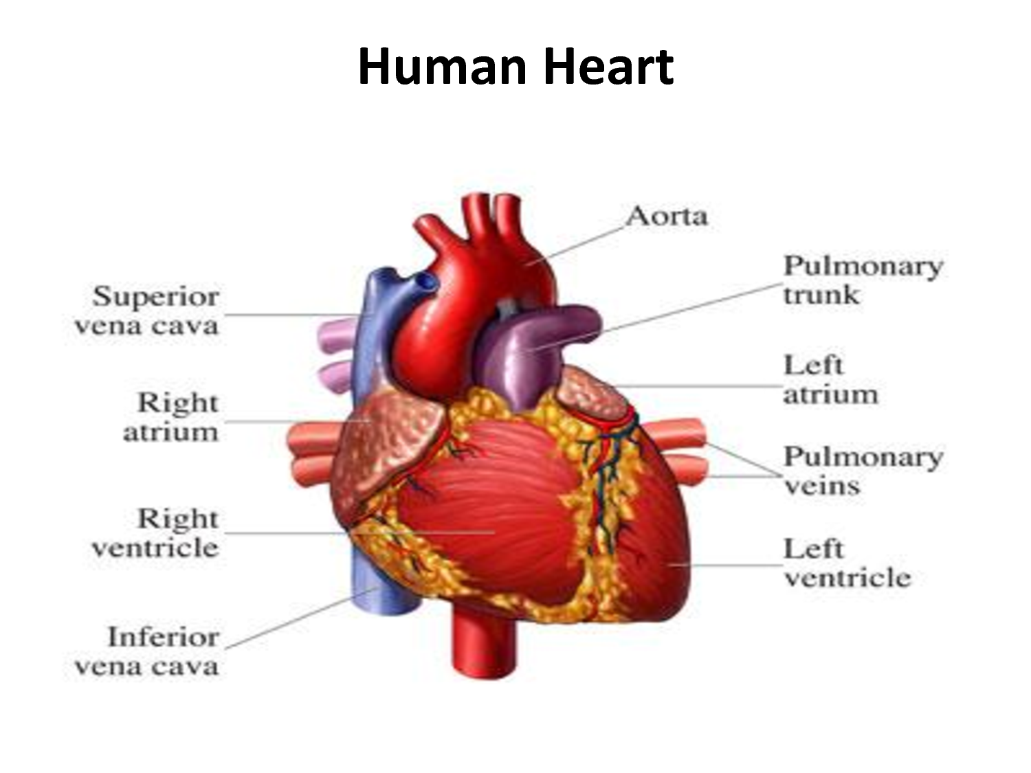 Human Heart The Basic Info That You Must Know