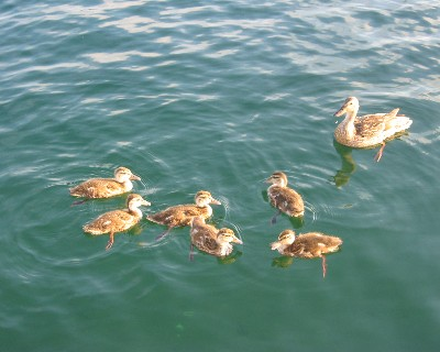 Photo: Ducks looking for handouts in Tobermory, Ontario. Credit: L. Borre.