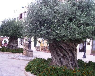 Photo: Olive trees in Ciutadella, Menorca, Balearic Islands, Spain. Credit: Lisa Borre.