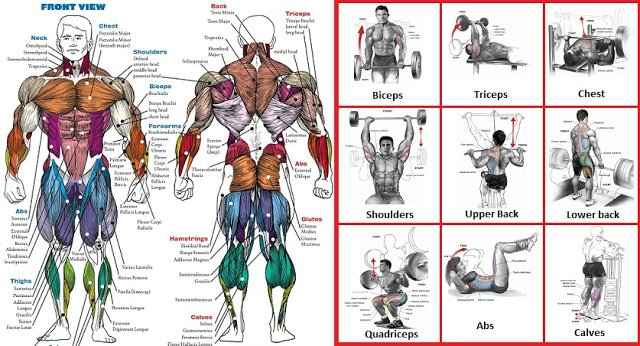 A List Of Top Weight Training Exercises For Each Muscle Group - GymGuider.com