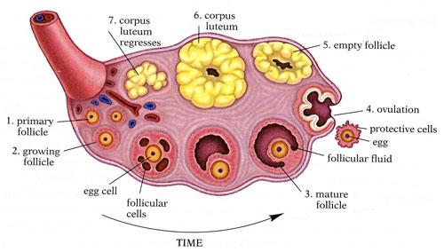 https://i0.wp.com/www.gyncancerdoctor.com/womenscancer/images/stories/clinical/OvaryToon.jpg