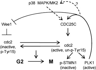 Induction of mitotic cell death by overriding G2/M