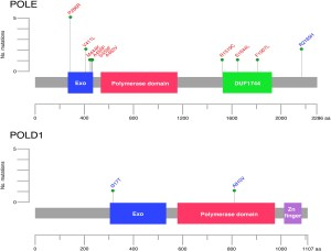 Mutation spectrum of POLE and POLD1 mutations in South East Asian women presenting with grade 3