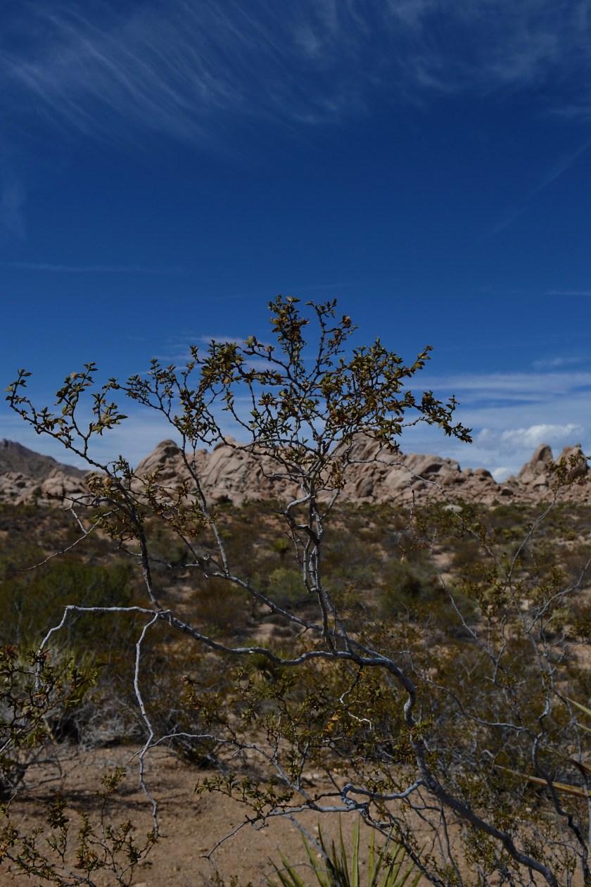 7-mojave-desert-tree