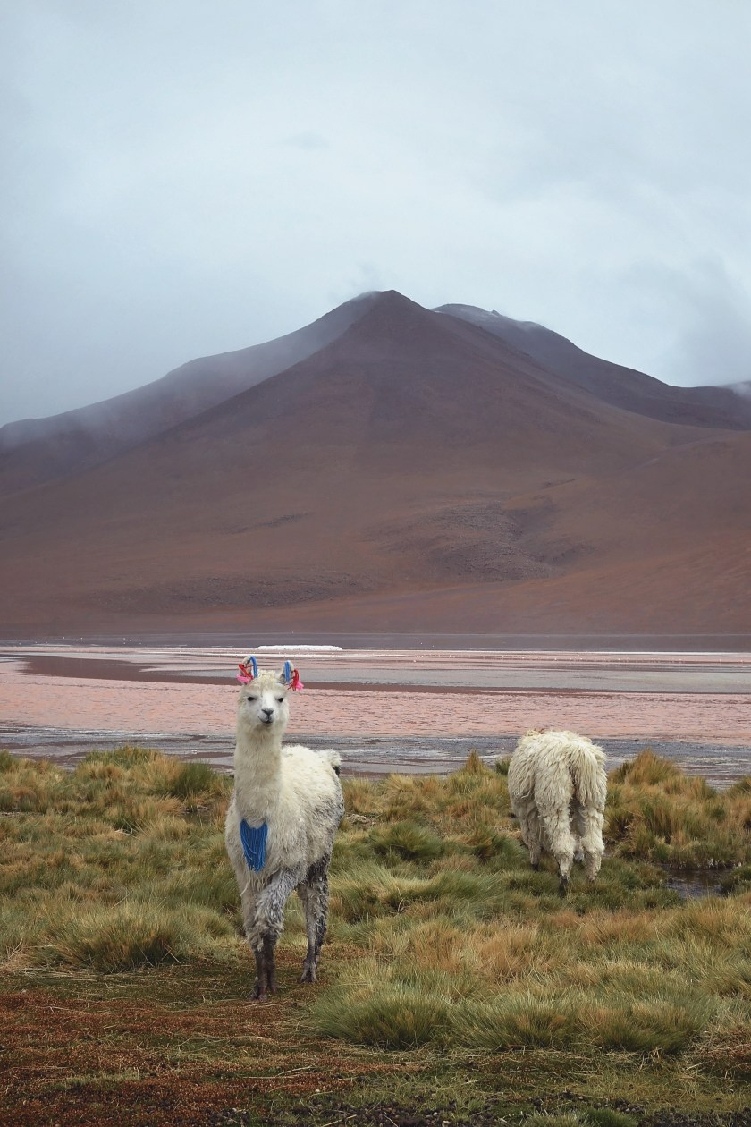 bolivia-desert-llama-mountain-red-lake