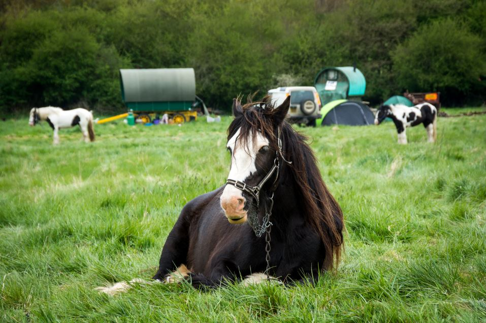 picture of horse lying on gras, in front of other horses and traditional Gypsy wagons