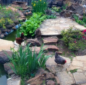 the hens and the koi pond