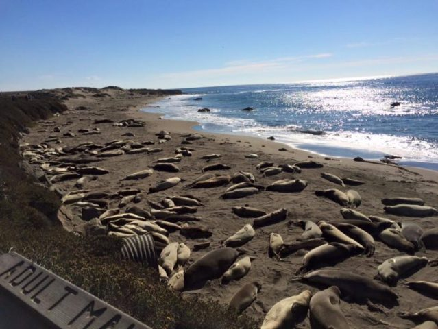 California Elephant Seals near Hearst Castle off the PCH