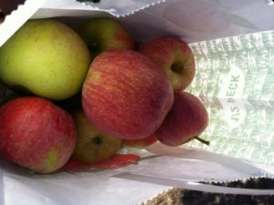 Fresh picked apples
