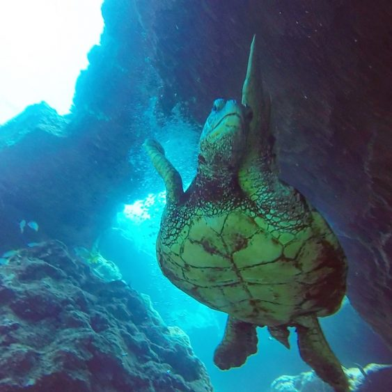 Turtles while diving in Kauai
