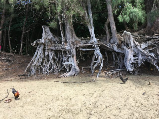 Tree roots at Ke'e Beach in Ha'ena State Park