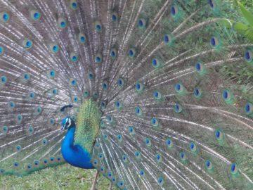 A peacock at Smith's Family Garden Luau on Kauai
