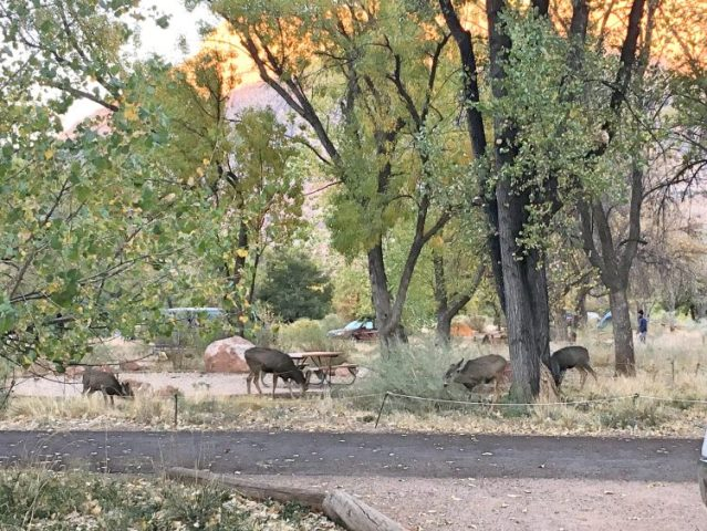 deer at Zion campsite