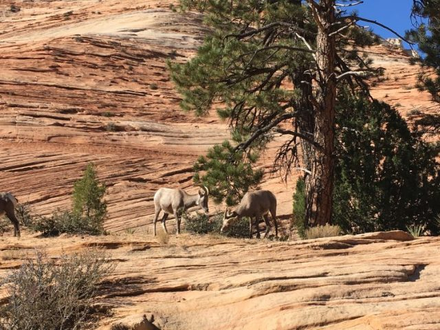 Rams eating at Zion National Park