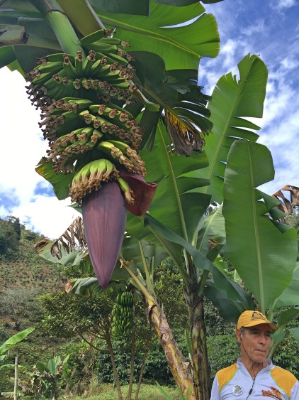 banana tree colombia
