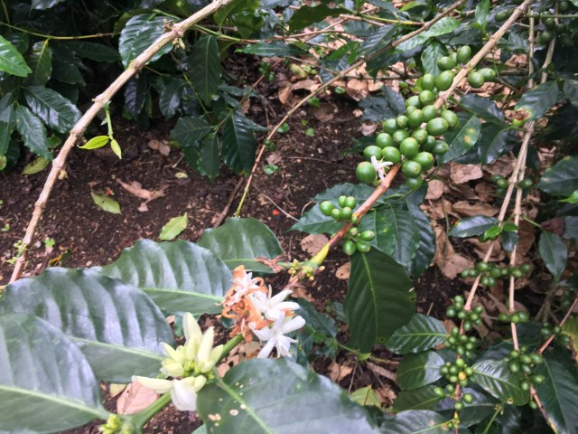 coffee beans colombia