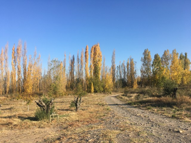 yellow trees in argentina