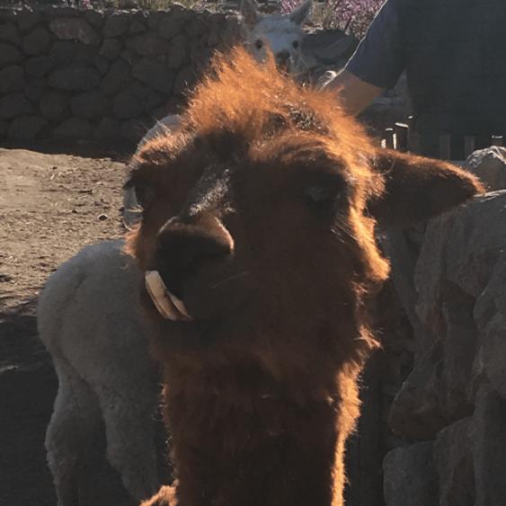 buck teeth llama