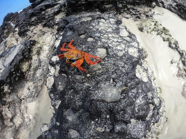 crab in tortuga bay galapagos