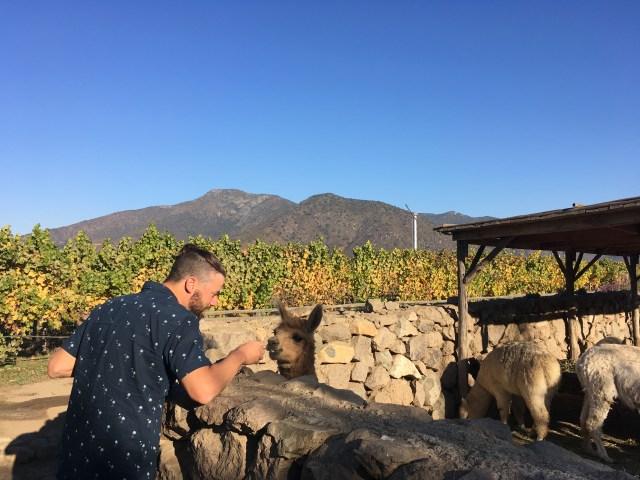 Grant feeding llama