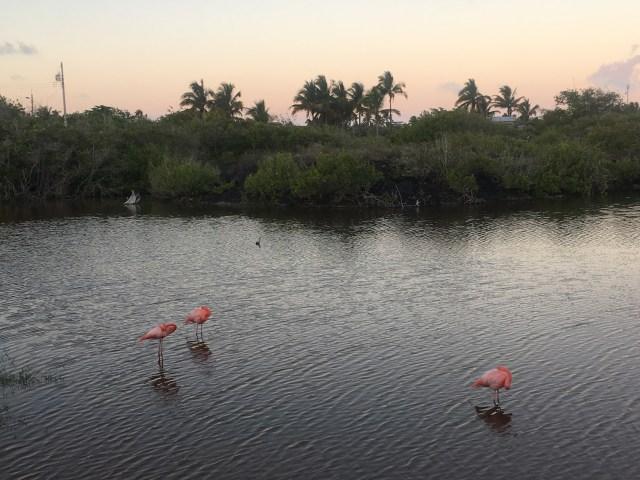 flamingos isabela