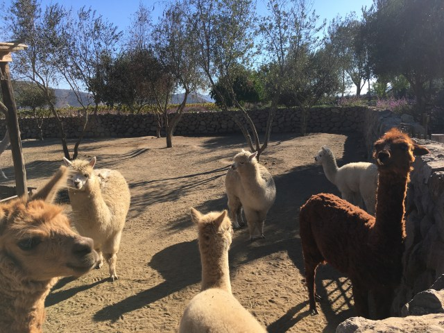llamas at winery