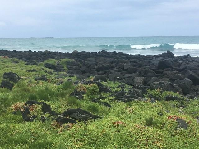 pile of lizards galapagos