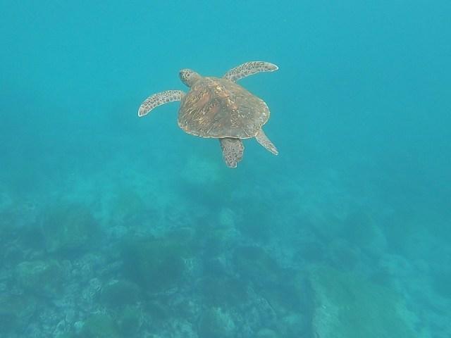sea turtle ecuador