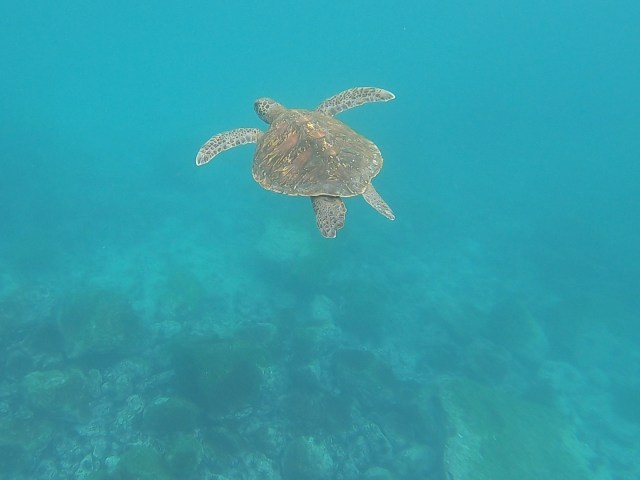 sea turtle ecuador