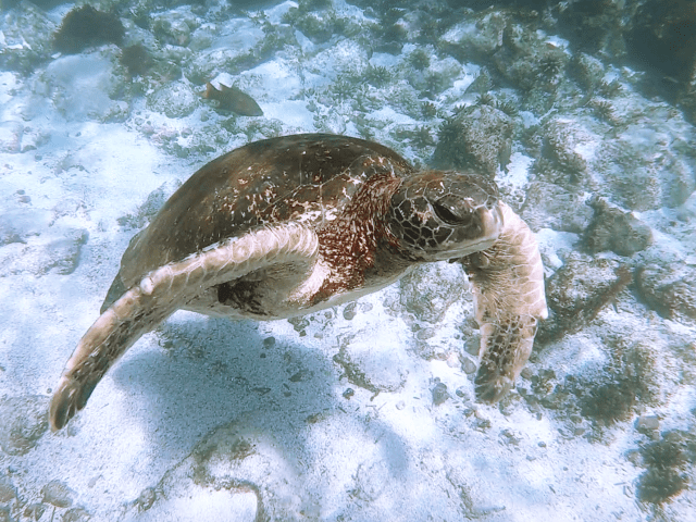 sea turtle in galapagos islands