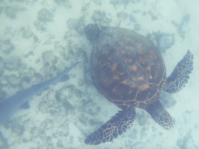 sea turtle__