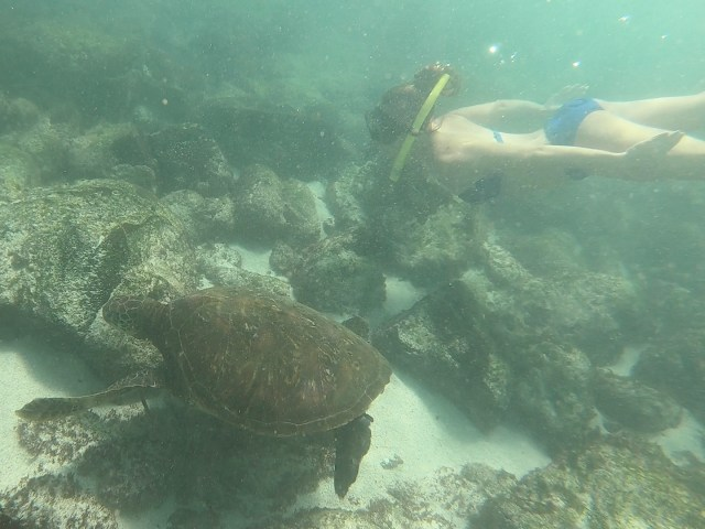 swimming with sea turtles galapagos
