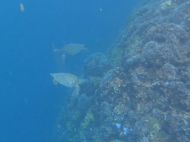 turtles in kicker rock_