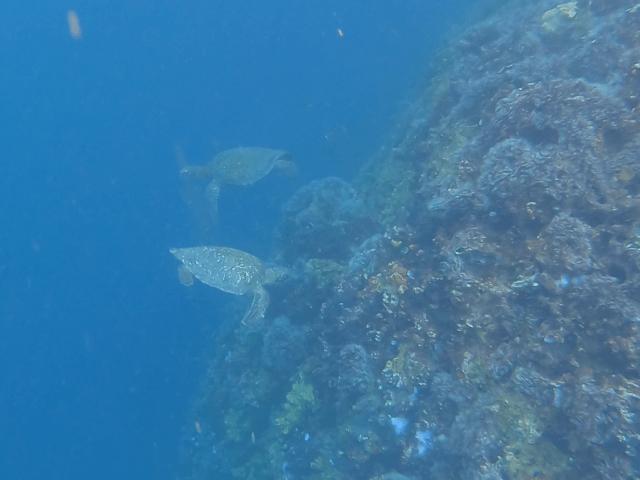 turtles in kicker rock_