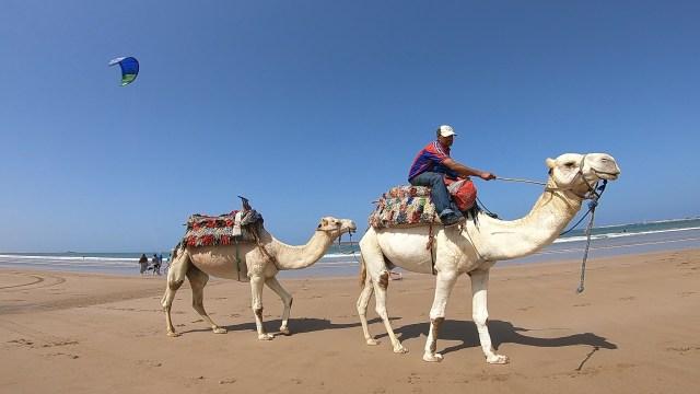 essaouira camels beach