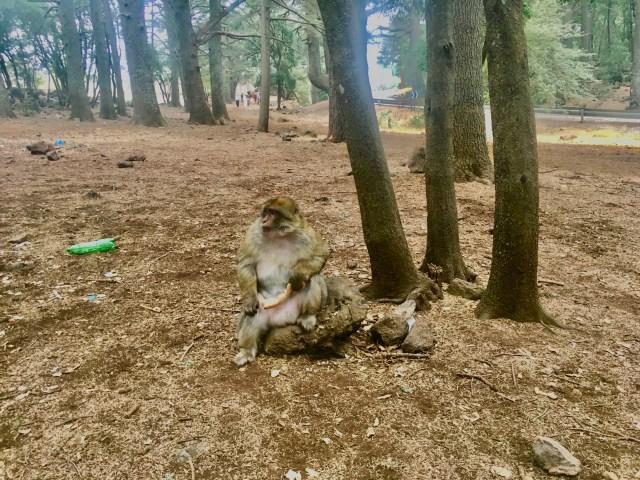 monkey in morocco