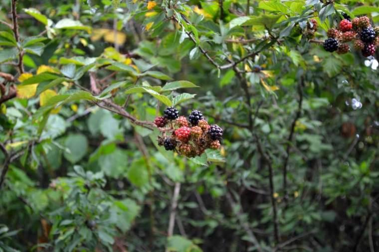 Forage in Autumn Blackberries